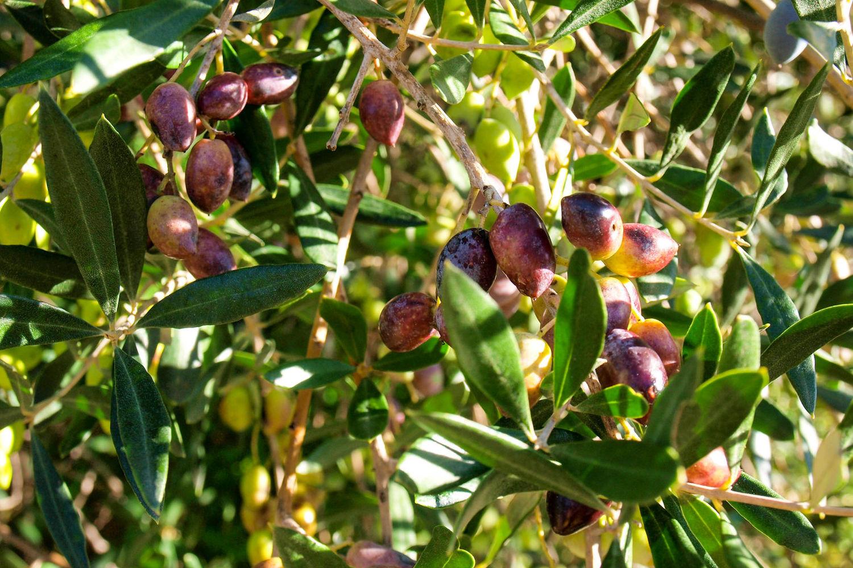 Olives Crete