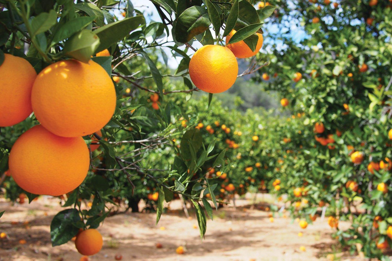 Oranges, Seville
