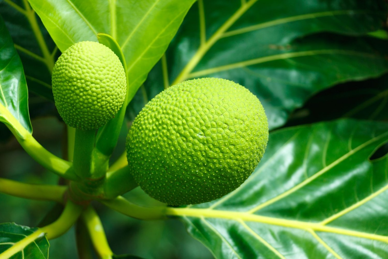 Breadfruit, Barbados