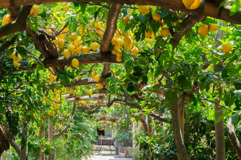 Sorrentine lemons
