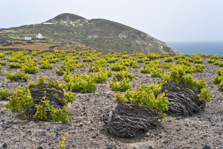 Santorini volcanic vineyards
