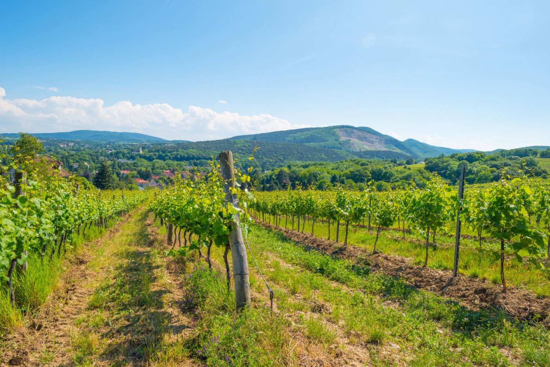 vineyards near vienna