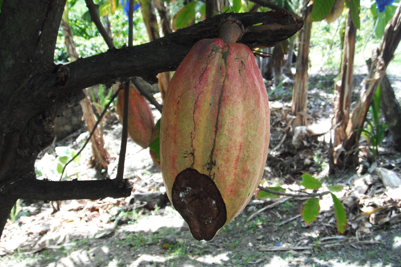 cocoa plant, st lucia