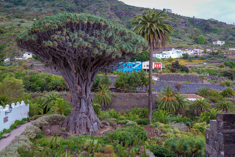 Drago Milenario Tree