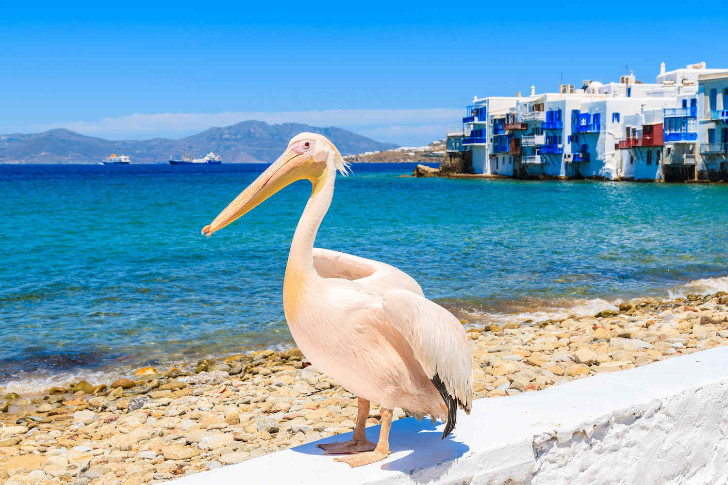 petros the pelican, mykonos