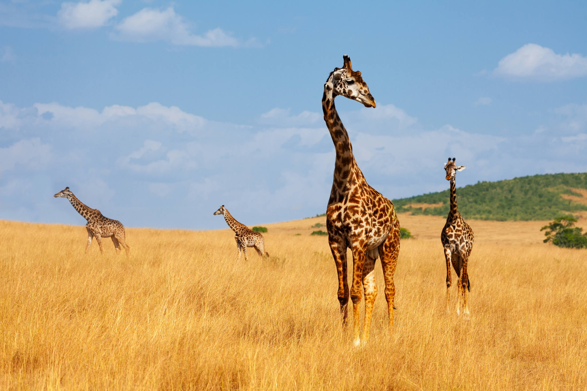 Honeymoon, Tour of Kenya, giraffes at maasai mara