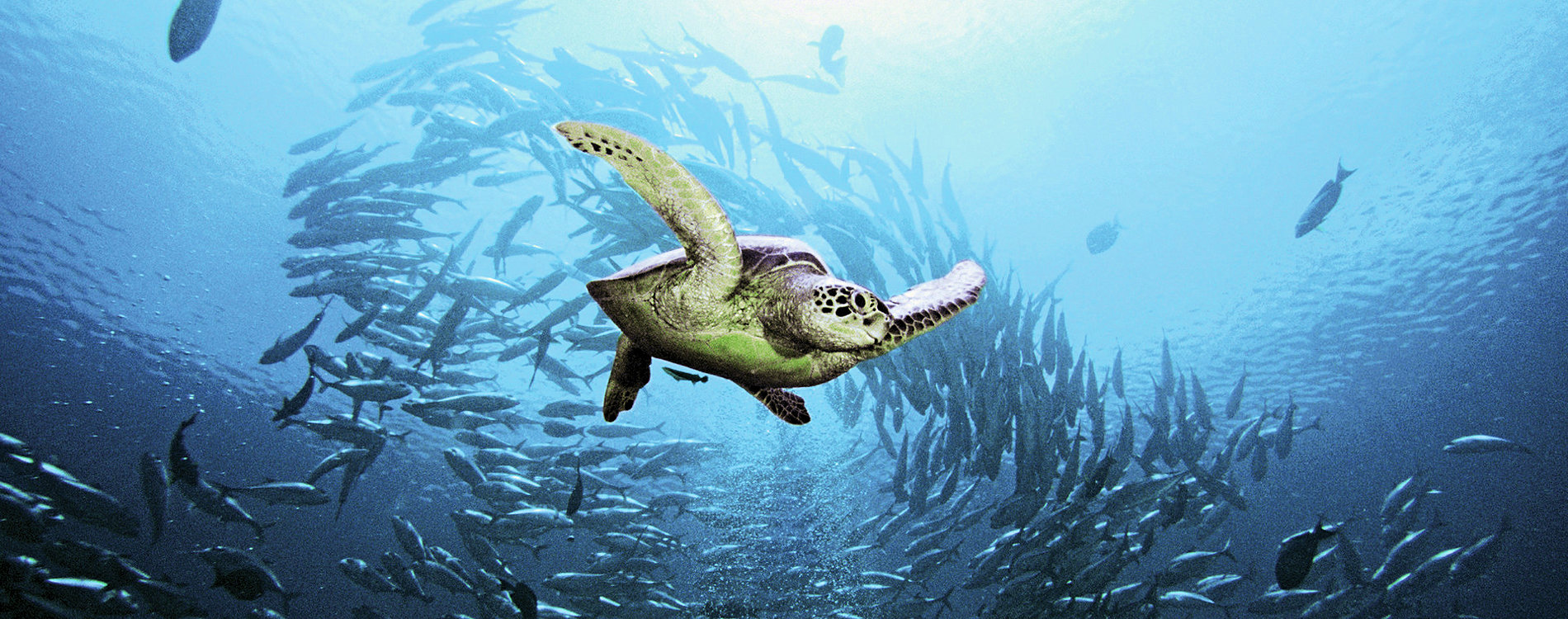 Turtle swimming with a school of fish